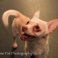 JT Chihuahua Being Fostered by CCRT Rescue